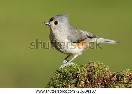 Tufted Titmouse (Parus bicolor) posing. - stock photo