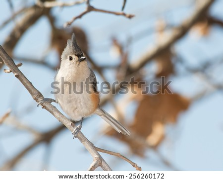 Tufted Titmouse perched in an Oak tree in winter - stock photo