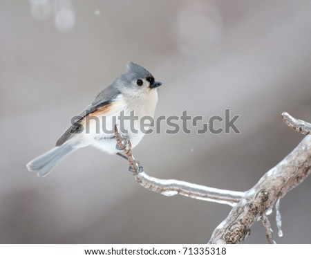 Tufted titmouse perched on an ice covered branch following winter storm - stock photo