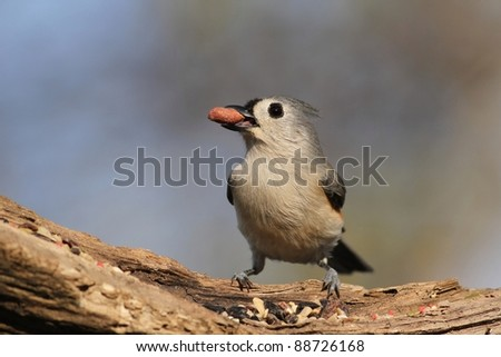 Tufted Titmouse that lost it's seed. - stock photo