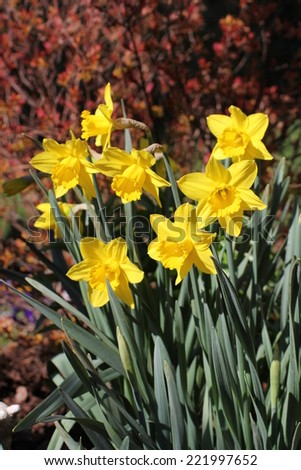 Tufts of yellow daffodils blooming in spring with red foliage background . - stock photo