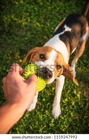 Tug War Beagle Dog On Grass Stock Photo (Edit Now