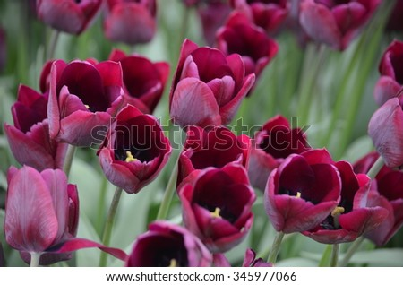 tulip - stock photo