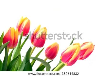 Tulip. Beautiful bouquet of tulips. Colorful tulips. Tulips in spring. Tulips red and yellow. Tulip on white background. Tulip red and tulip yellow.  Tulips for holiday card. - stock photo