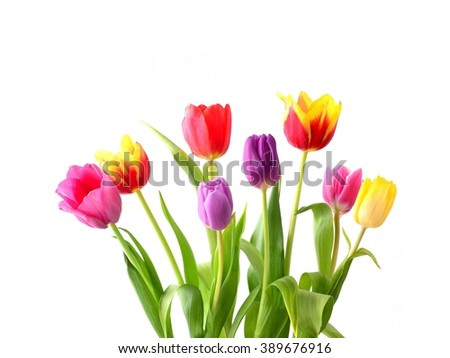 Tulip. Beautiful bouquet of tulips. Colorful tulips. Tulips in spring. Tulips red and yellow. Tulip on white background. Tulip red and tulip yellow. - stock photo