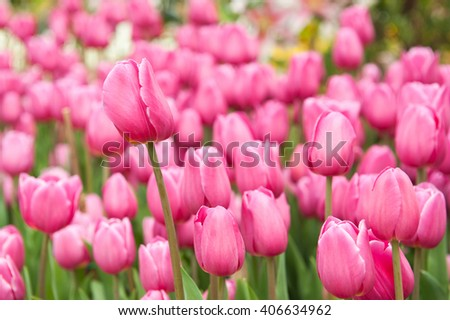 Tulip. Beautiful colorful tulips. tulips in spring,colourful tulip
