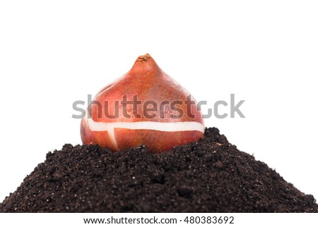 Tulip bulb on the organic soil over white background
