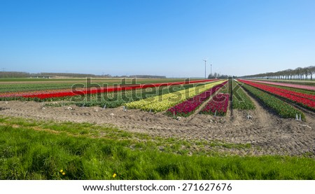 Tulip cultivation in a sunny spring - stock photo
