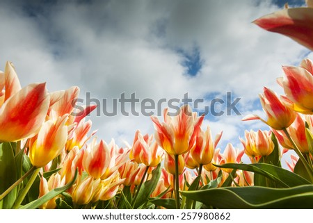 Tulip field close-up, North Holland, The Netherlands. - stock photo