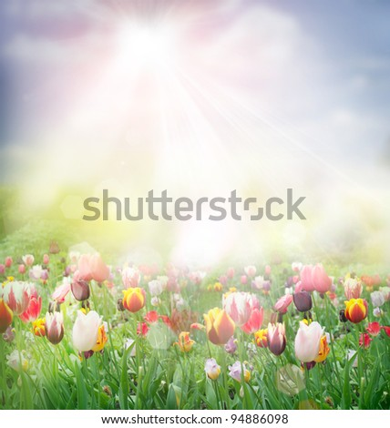 Tulip field. Easter spring background with tulips in a beautiful meadow with sunset - stock photo
