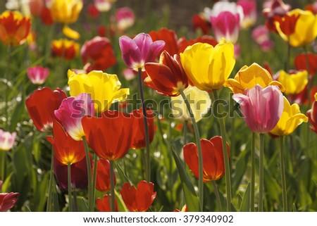 Tulip field in Lower Saxony, Germany - stock photo