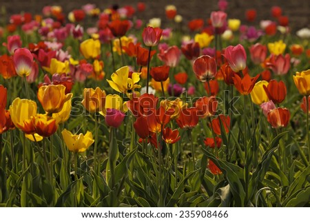 Tulip field in spring, Lower Saxony, Germany - stock photo