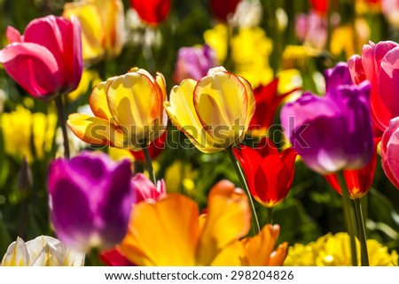 Tulip field in spring, Lower Saxony, Germany, Europe - stock photo