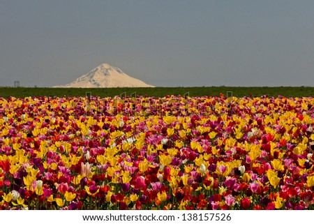Tulip field. View of agricultural field growing tulips. - stock photo