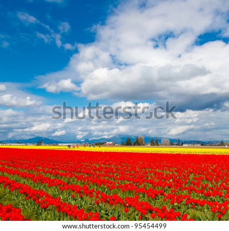 Tulip field with red and below flowers. Square image.