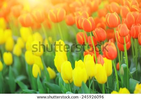 Tulip field with sun flare - stock photo
