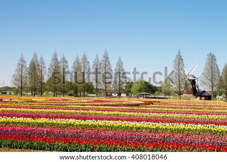 Tulip field with windmill - stock photo