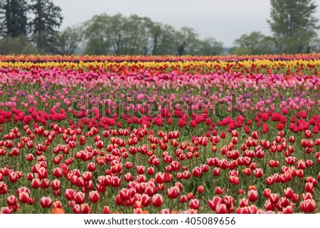 Tulip Fields at the Wooden Shoe Tulip Farm in Woodburn, Oregon - stock photo
