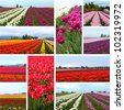 Tulip fields collage in ten photos of different tulips - stock photo