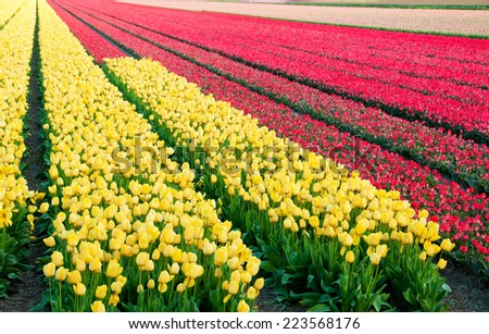 Tulip fields in Holland - stock photo