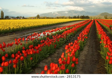 Tulip fields in Skagit Valley, Washington - stock photo