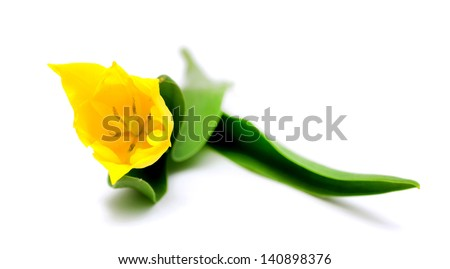 tulip flower on a white background - stock photo