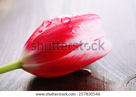 Tulip flower on wooden background - stock photo