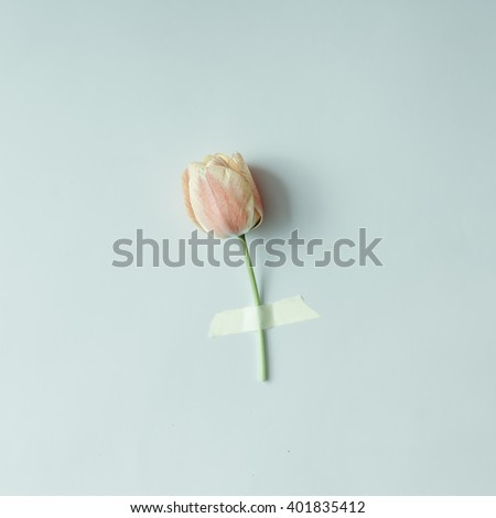 Tulip flower taped to bright background. Minimal concept. - stock photo