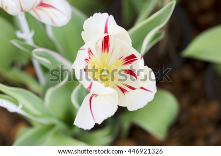 Tulip flower white and red colour is blooming in the new season in Rayong, Thailand. - stock photo