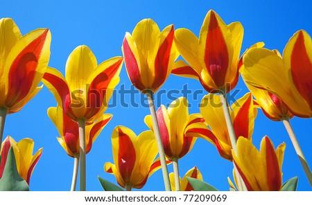 Tulip flowers against blue sky - stock photo