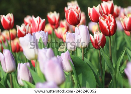 Tulip flowers and butterfly,many beautiful purple and red tulip flowers blooming in the garden,Curcuma,Common Tulipa,Common Garden Tulipa - stock photo