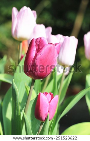 Tulip flowers,beautiful red and pink tulip flowers blooming in the garden,Curcuma,Common Tulipa,Common Garden Tulipa - stock photo