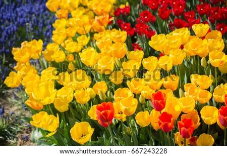 Tulip flowers blooming spring season stock photo download now tulip flowers blooming spring season stock photo download now 667243228 shutterstock mightylinksfo