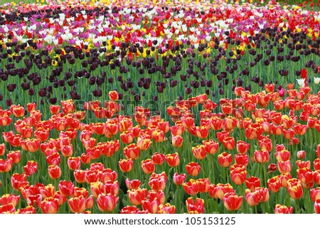 tulip flowers field