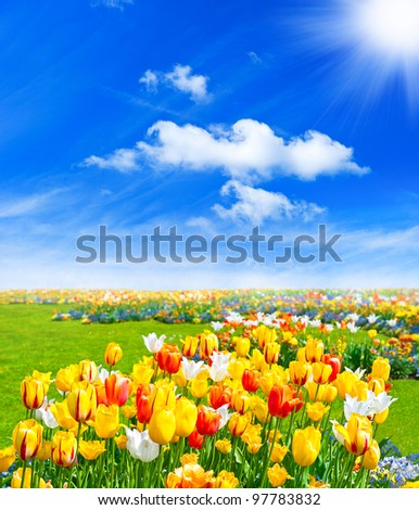 tulip flowers field. spring landscape with blue sunny sky