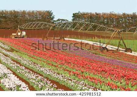 Tulip flowers in full blown at Table Cape, north west agricultural region of Tasmania, Australia - stock photo