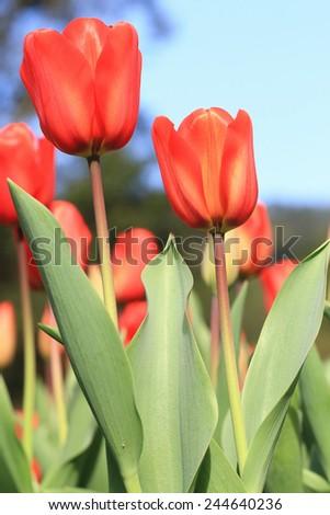 Tulip flowers,many beautiful red tulip flowers blooming in the garden,Curcuma,Common Tulipa,Common Garden Tulipa - stock photo