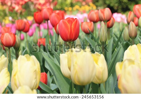 Tulip flowers,many beautiful yellow,red and purple tulip flowers blooming in the garden,Curcuma,Common Tulipa,Common Garden Tulipa - stock photo