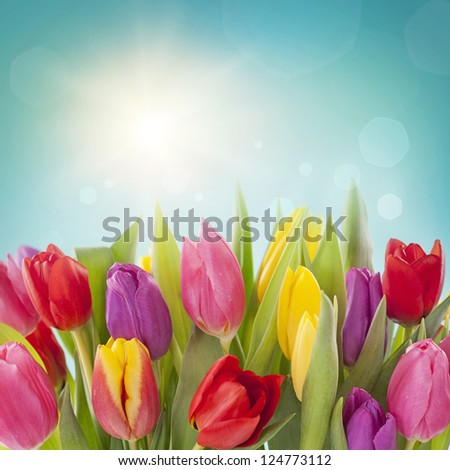 Tulip flowers on blue background - stock photo