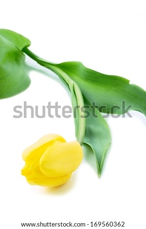 Tulip flowers on white background