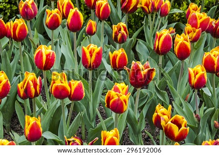 Tulip flowers with water drops in tulip garden - stock photo