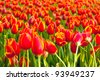 Tulip garden. - stock photo
