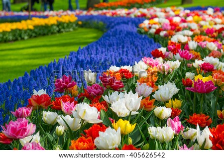 Tulip garden - stock photo