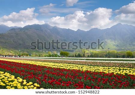 Tulip garden in Srinagar , Jammu & Kashmir - India - stock photo