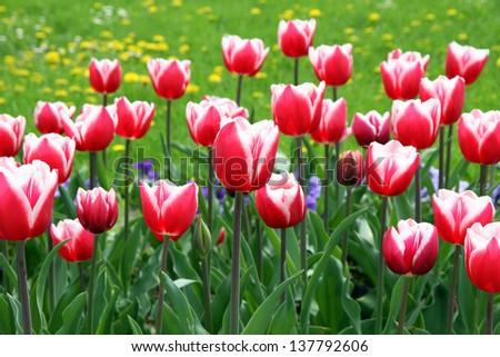Tulip in a field - stock photo