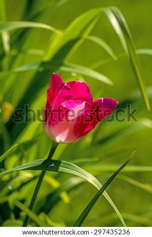 tulip in backlight - stock photo