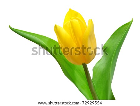 tulip isolated on a white
