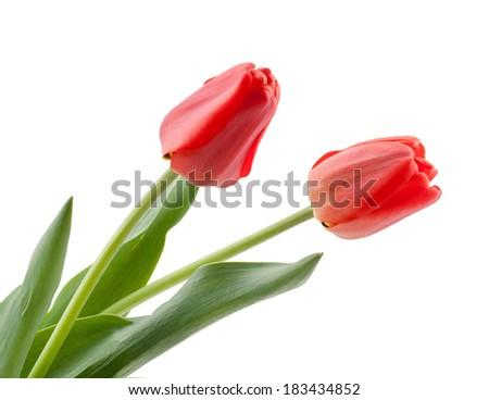 Tulip isolated on white background - stock photo