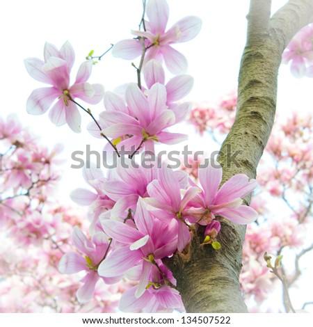 Tulip Magnolia Tree - stock photo