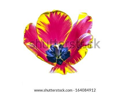 Tulip on a white background - stock photo